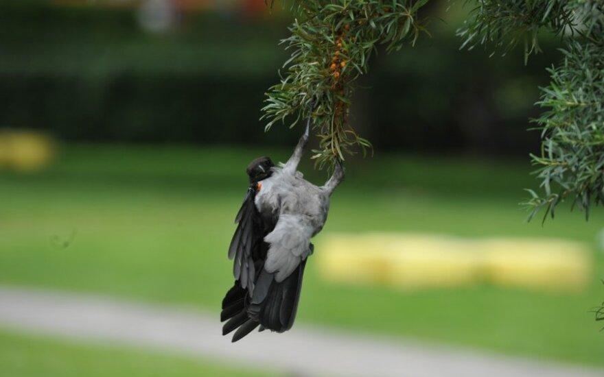 Varna, pakibusi ant medžio šakos