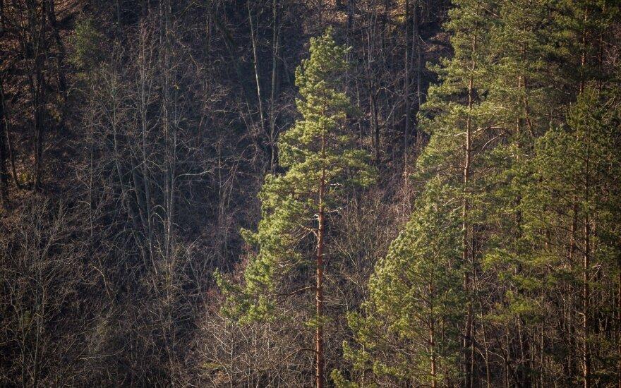 Sprendžiama, ką daryti dėl plynųjų kirtimų gražiausiose Lietuvos vietose