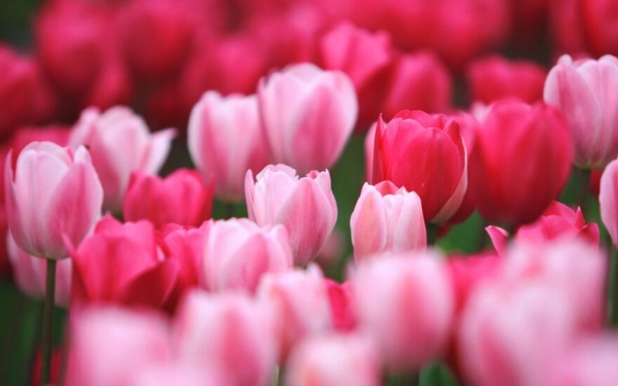 Kaip ir kada sodinti svogūnines gėles