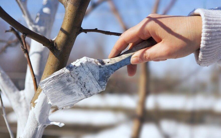 Obelų priežiūra pavasarį: genėjimas, balinimas ir skiepijimas