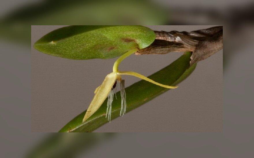 Mokslininkai teigia, jog tai vienintelė atrasta naktį žydinti orchidėja. Karališkųjų Didžiosios Britanijos sodų nuotr.