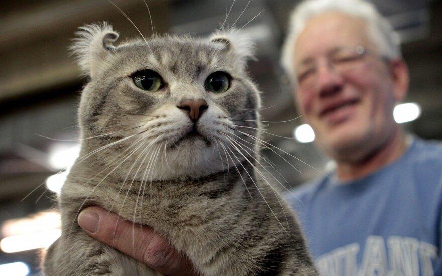 Amerikiečių riestaausė katė