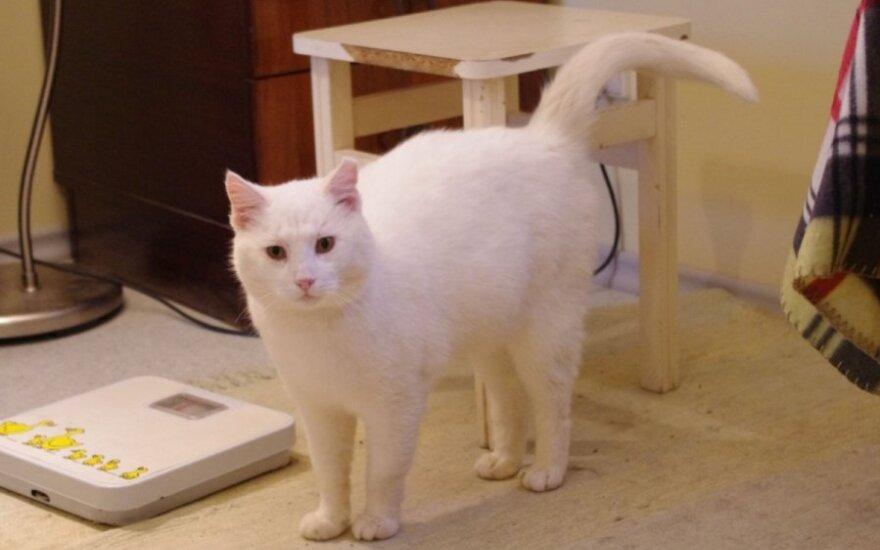 Baltas it sniegas katinas Broliukas svajoja apie namus!