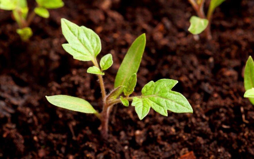 Kaip išgyvena profesionalūs gėlininkai ir daigų augintojai
