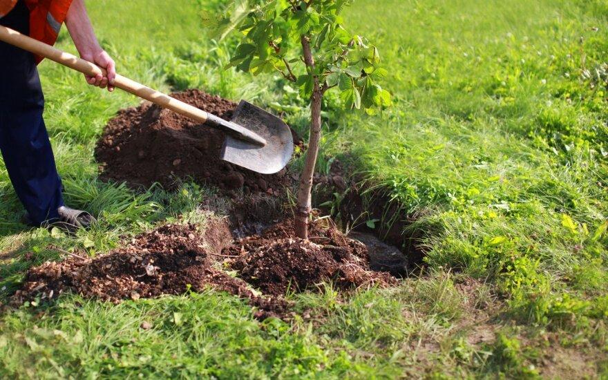 Medelių sodinimas