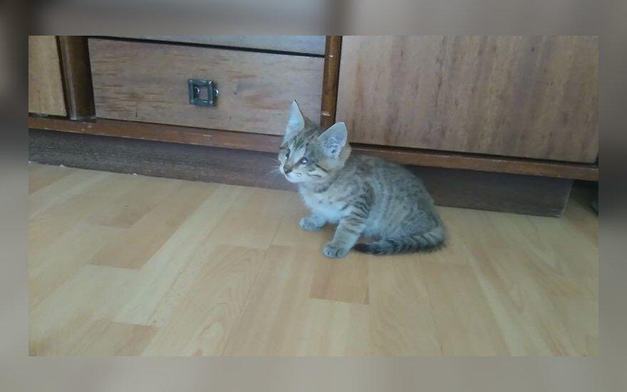Nykštukinė katytė Estutė ieško namų