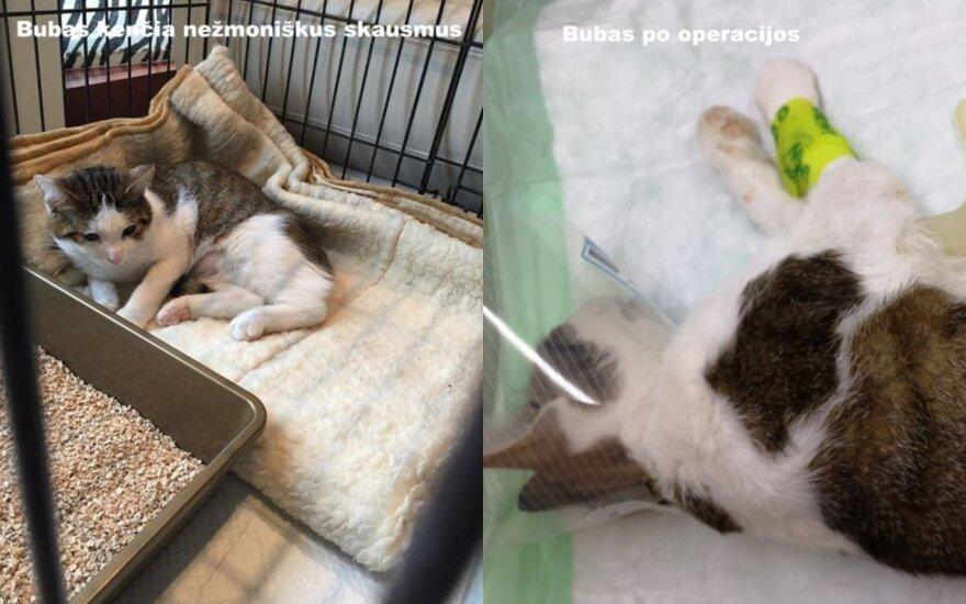 Kačių prieglaudai būtina finansinė parama: padėkite atsiskaityti už Bubo operaciją
