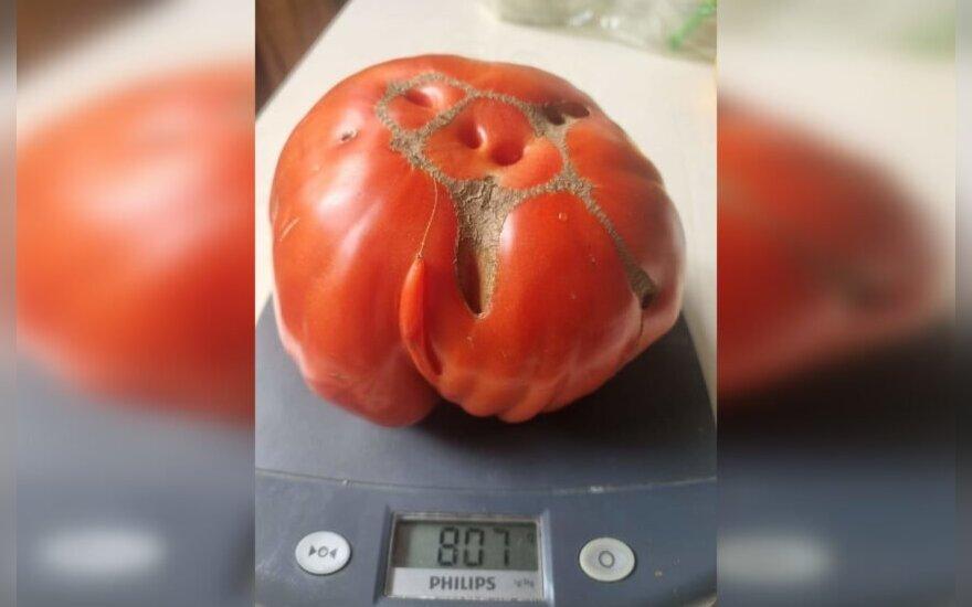 Pomidoras gigantas