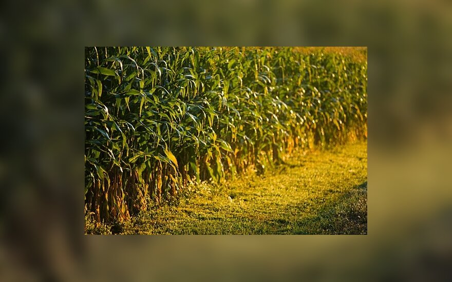 Chemijos bendrovės palaiko EK sprendimą leisti maistui naudoti 6 genetiškai modifkuotų kukurūzų rūšis