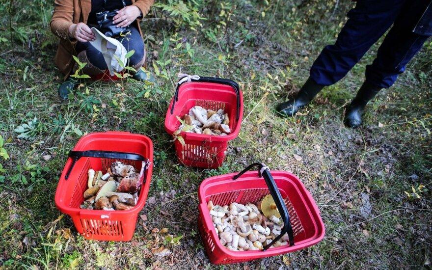 Po šalnų grybavimo sezonas nesibaigia: kokių grybų dar yra miškuose