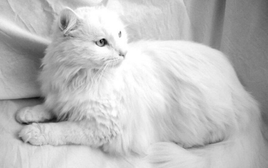 Katinas Vudis ieško namų