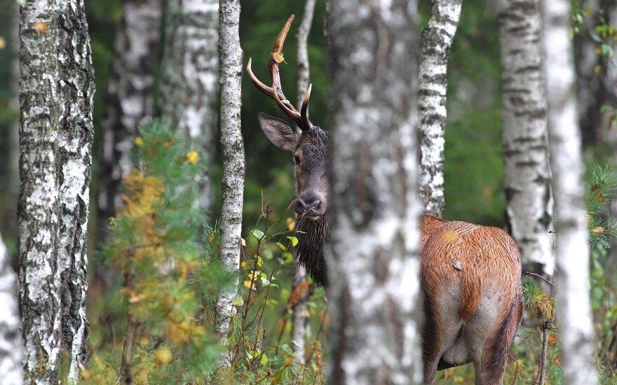 Svarbus gamtai, tačiau pavojingas žmonėms, laikotarpis: paaiškino, ką daryti, susidūrus su laukiniu žvėrimi