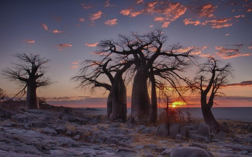 Susipažinkite: didžiausias pasaulyje medis, augantis šaknimis į viršų