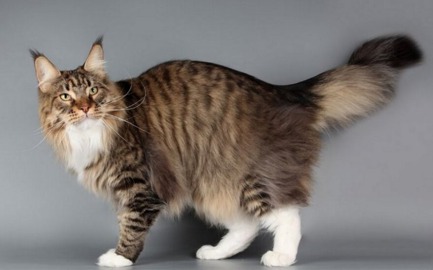 Katės uodega