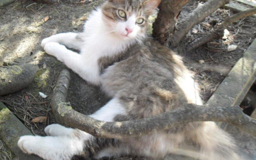 Seimo katinėliai