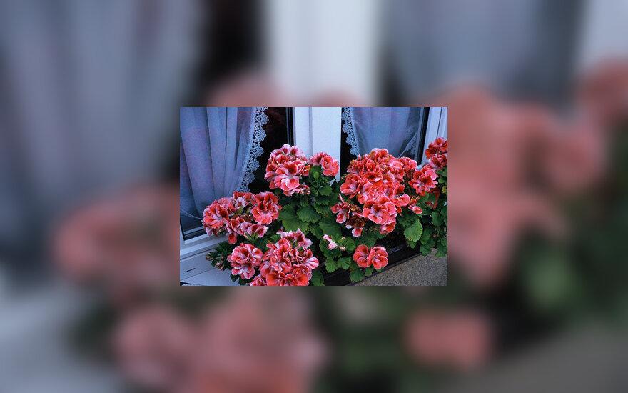 Palangė, gėlės