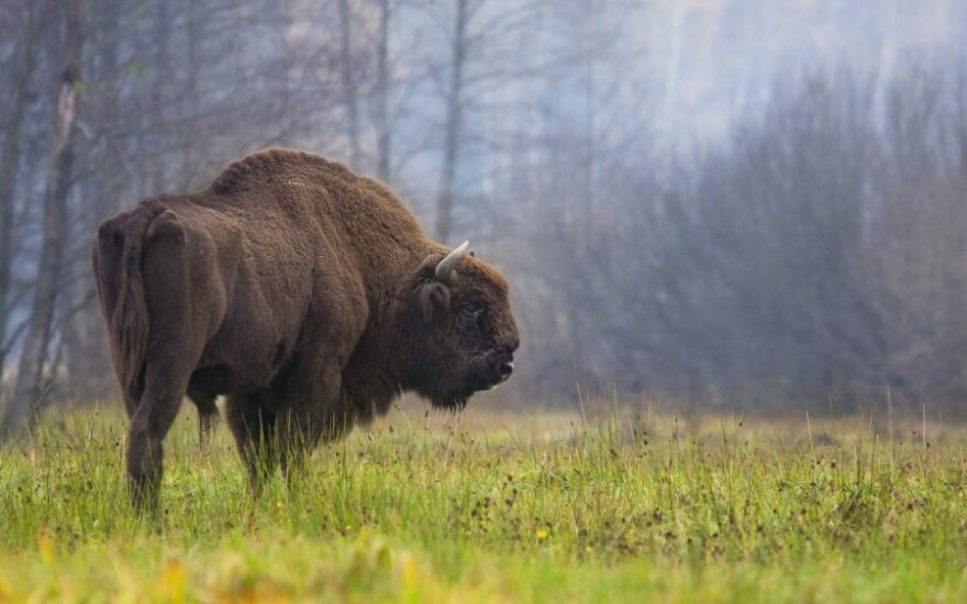 Senovės Lietuvos miškų apsauga: urėdas brakonierių galėjo iš karto pakarti