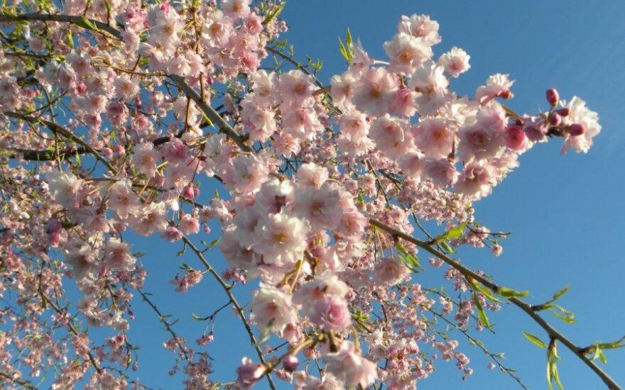 Svaiginantis pavasaris - lyg iš atviruko
