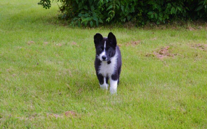 Karelų lokinis šuo