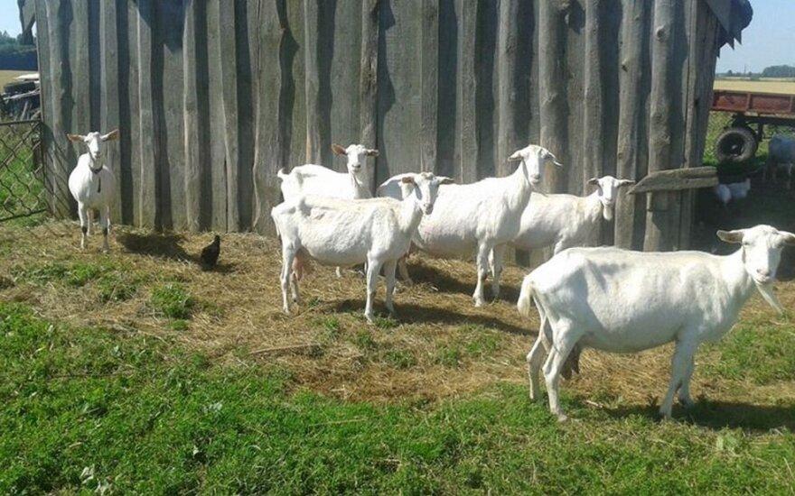 Pagalbos šauksmas: kaunietė ieško pasiklydusių ožkų