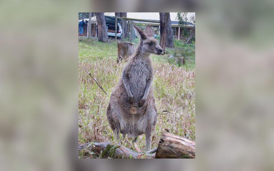 kengūra