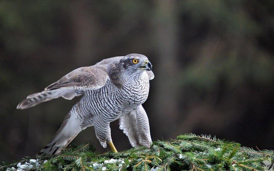 Retai sutinkamas mūsų miškų plėšrusis paukštis – vištvanagis