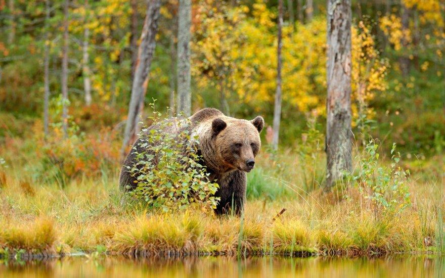 Biržų rajone pasirodė meškos jauniklis
