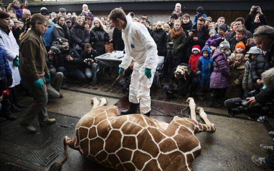 Sveikas žirafos patinėlis užmuštas Kopenhagos zoologijos sode