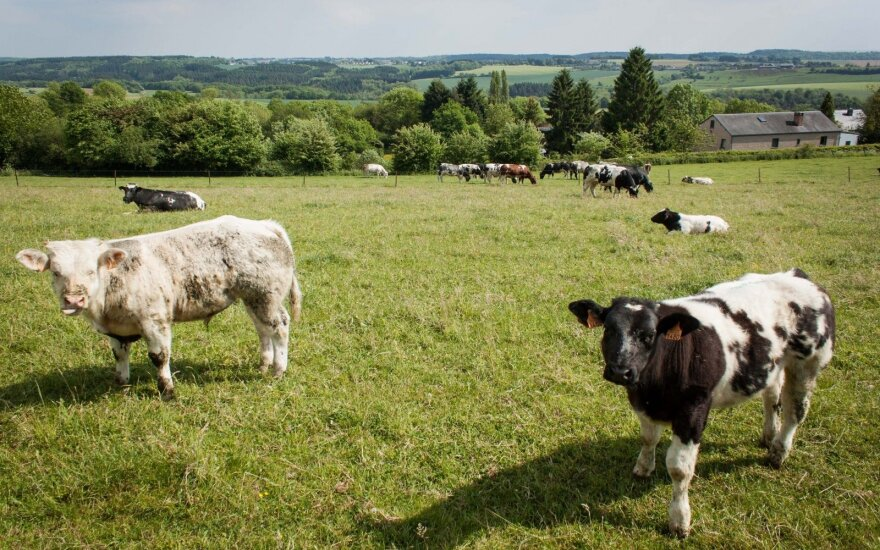 Vyriausybė svarstys paremti pieno gamybą