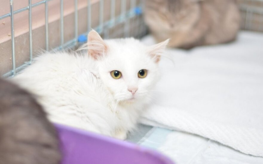 Iškirtinio grožio 5 mėn. katinėlis Jangas ieško namų!