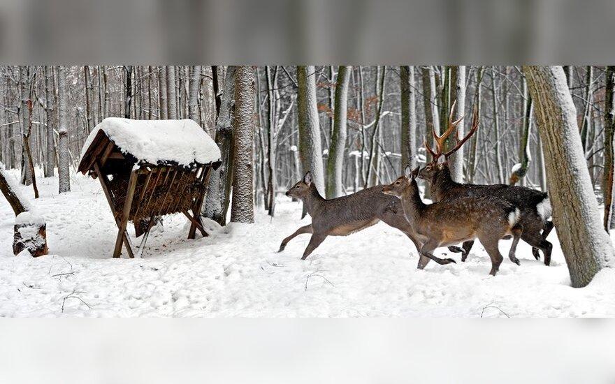 Labai patogu miško aikštelėje, žvėrių lankomoje vietoje, sukrauti kūgį šieno – nereikės dažnai vežioti pašaro.