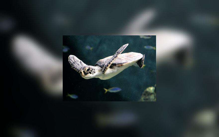 Vėžlys vandenyje