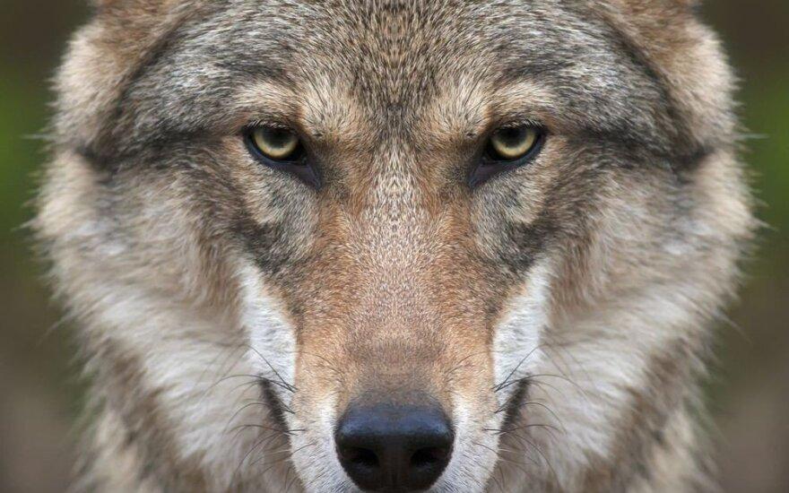 Ūkininkas sako, kad jį puolė vilkas – mėgino atimti ėriuką