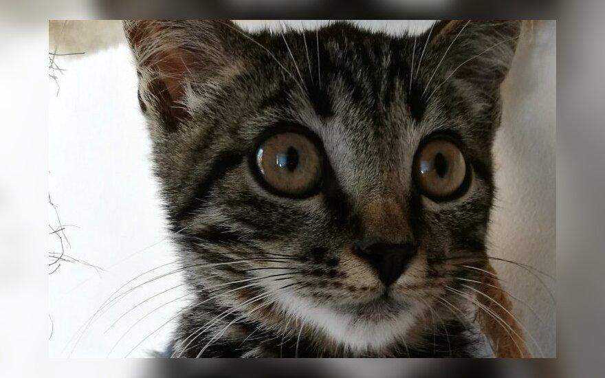 Mieliausio snukelio katinas Skeitas ieško namų