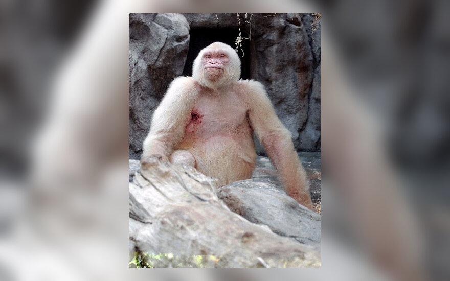 Baltoji gorila