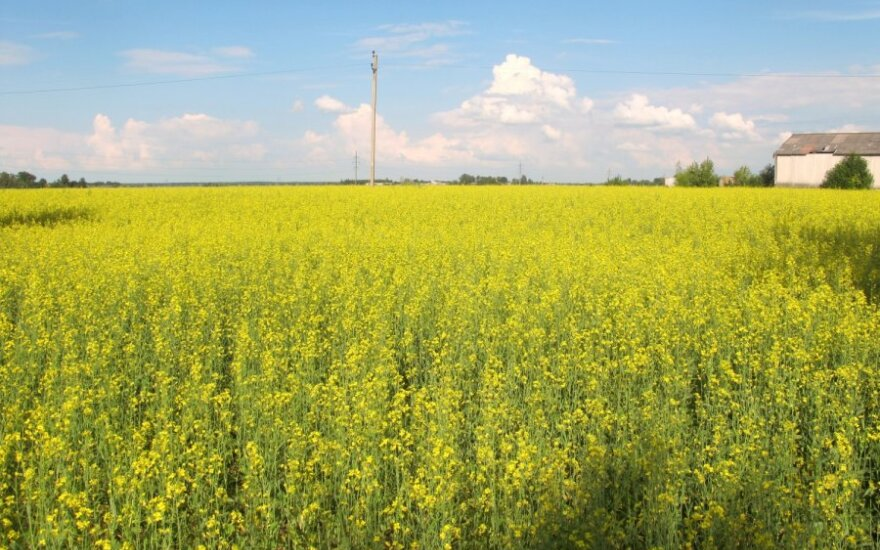 Žemės ūkio augalai bioenergetikai – daug neišnaudotų galimybių