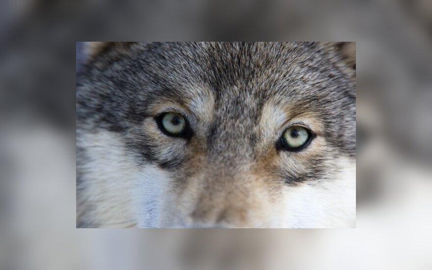 Šiaurės Lietuvos gyventojų gyvulius puola išsigimę vilkai