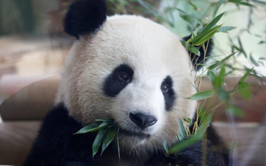Panda. Asociatyvi nuotr.
