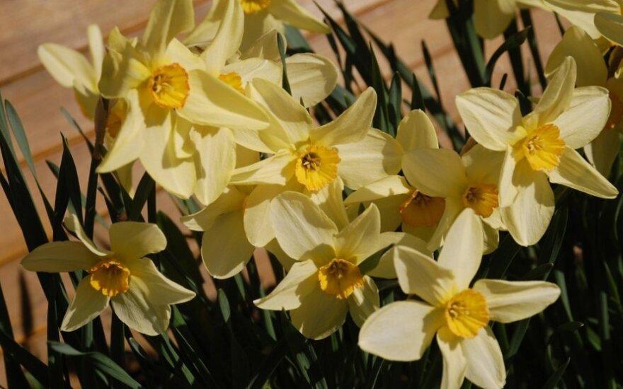 Pirmoji tikro pavasario savaitė: po giedro sekmadienio ateis šiluma