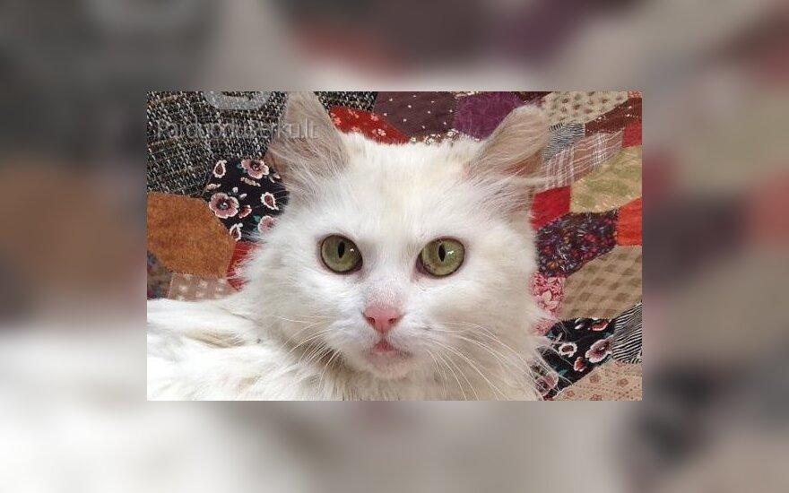 Prašo pagalbos: Vilniuje dingo katytė