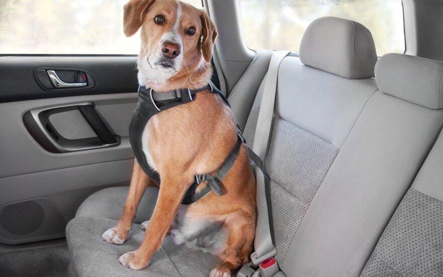 Šuo su diržu automobilyje
