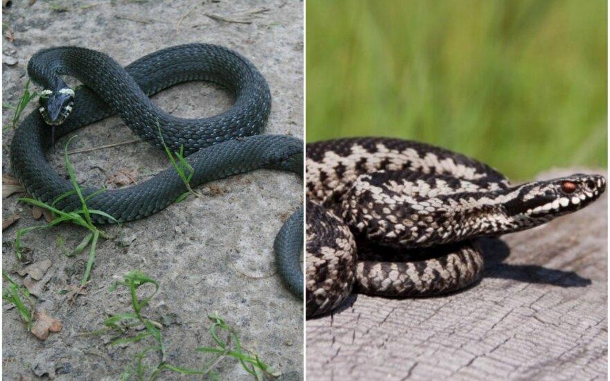 Žaltys ir gyvatė