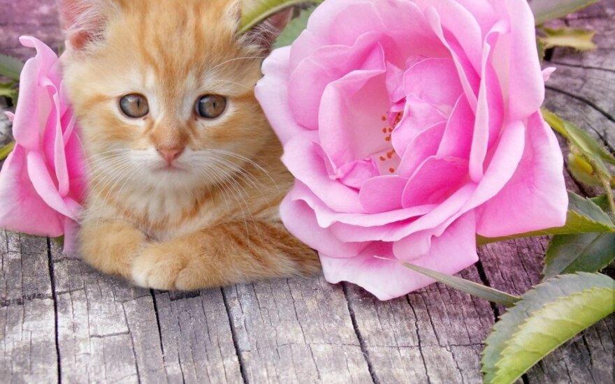 Dekoratyvinės kambarinės rožės: kaip jas teisingai prižiūrėti