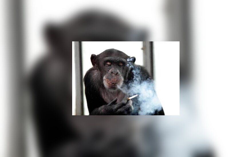 26-erių šimpanzė, vardu Aiai, rūko cigaretę Qinlingo zoologijos sode (Kinija).