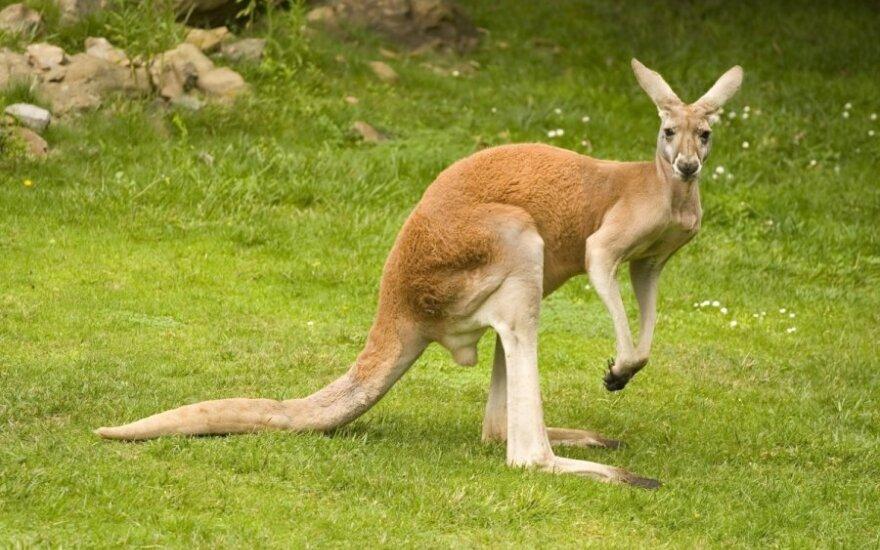 Raudonoji kengūra