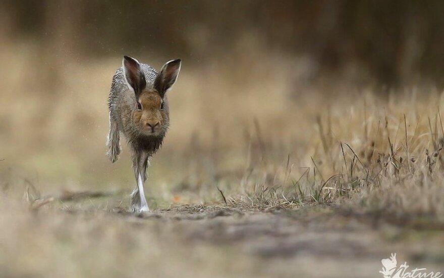 Lietuvos miškų retenybė – baltasis kiškis. Renato Jakaičio nuotrauka