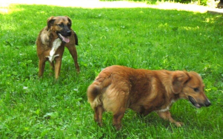 Du draugiški 5 mėn. šuneliai ieško namų