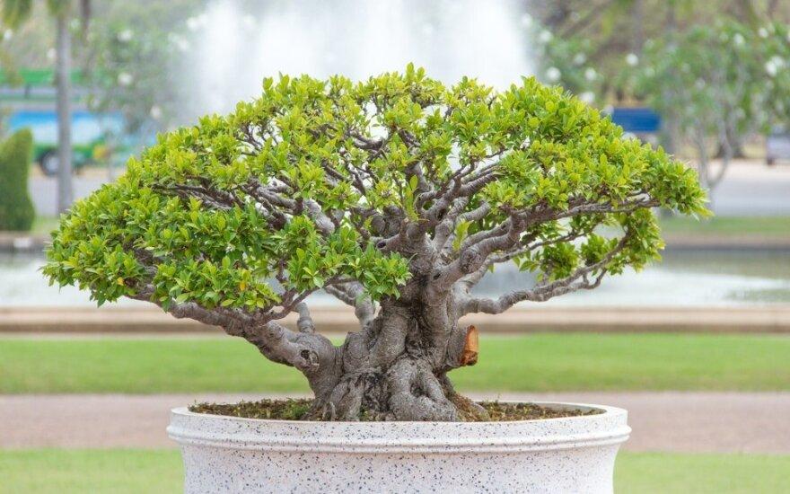 Kaip užauginti bonsai medelį savo sode