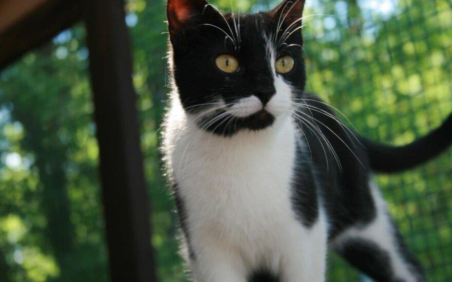 Lavasa – labai meili katytė