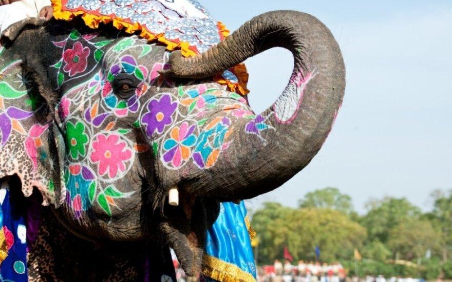 Išpuoštas dramblys Džaipure, Indija
